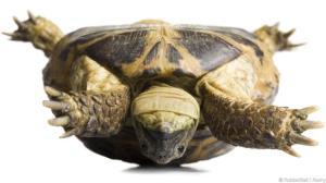 A5RKXR Upside down tortoise